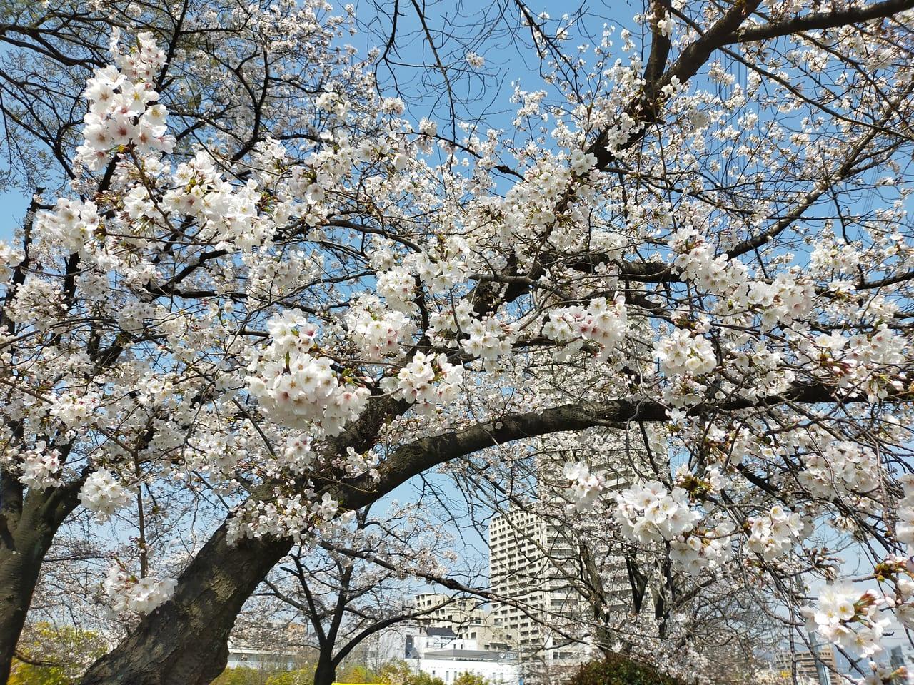 楠葉中央公園桜
